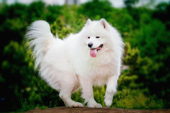 Portrait of Samoyed closeup. Sled dogs. Royalty Free Stock Images