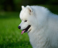 Portrait of samoyed dog. On nature background Royalty Free Stock Photography