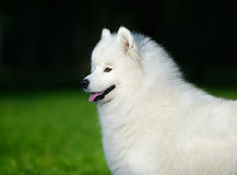 Portrait of samoyed dog. On nature background Stock Photos