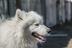 Portrait of Samoyed dog close up outdoors Royalty Free Stock Image
