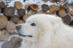 Portrait of Samoyed dog Stock Images
