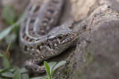 Portrait of sand lizard Stock Photo