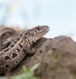 Portrait of sand lizard Royalty Free Stock Images