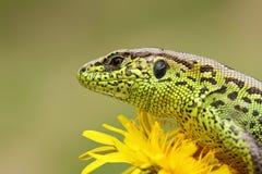 Portrait of sand lizard standing on yellow dandelion. Lacerta agilis, macro shot Stock Image