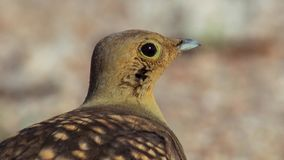 Portrait of sandgrouse in Southern Africa savanna stock photography