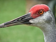 Portrait of sandhill crane Royalty Free Stock Photo