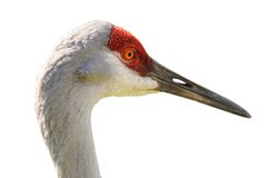 Portrait of Sandhill Crane Isolated Stock Images