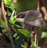 Portrait of a Sardinian Warbler Royalty Free Stock Image