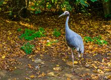 Portrait of a sarus crane standing on one leg, tropical bird from Asia, Threatened animal specie. A portrait of a sarus crane standing on one leg, tropical bird royalty free stock photo