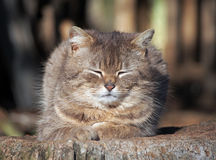 Portrait of the satisfied replete cat. A thick replete cat rests on a hemp Royalty Free Stock Photo
