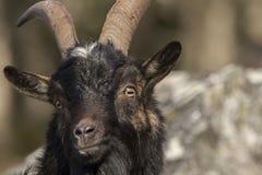 Portrait sauvage de chèvre avec le fond de couleur d'automne Images libres de droits