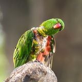 Portrait of  scaly-breasted lorikeet Royalty Free Stock Photography