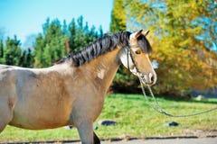Portrait of scaring light-buckskin welsh pony royalty free stock photo