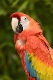 Portrait Scarlet macaw Stock Image