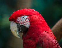 Portrait of Scarlet Macaw (Ara Macao) Royalty Free Stock Images