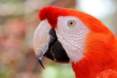 Portrait of Scarlet Macaw bird, Florida Royalty Free Stock Image