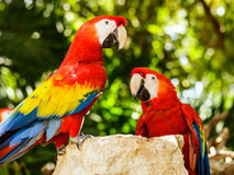 Portrait of Scarlet Macaw parrots Stock Photo
