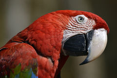 Portrait Scarlet macaw Stock Photo