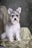 Portrait of a Schnauzer on Green. A portrait of a cute salt and pepper Schnauzer sitting in a chair against a green background Royalty Free Stock Photo
