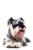 Portrait of a schnauzer lying down Royalty Free Stock Photo