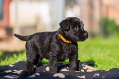 Portrait of a schnauzer puppy. Who stands on a blanket Royalty Free Stock Photo
