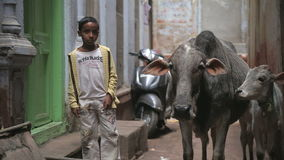 Portrait of a school boy standing by two cows in narrow street in Varanasi. stock video footage