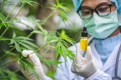 Portrait of scientist with mask, glasses and gloves researching and examining hemp oil in a greenhouse. Concept of herbal stock photos