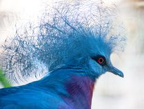 Pigeon. Portrait of Sclater`s Crowned-pigeon stock photo