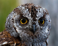 Portrait of a scops owl Royalty Free Stock Photography