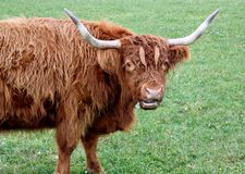 Portrait of a scotish cow Stock Photography