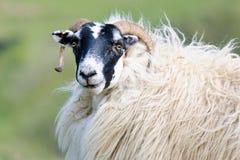 Portrait of a Scottish blackface sheep, Scotland. Portrait of a Scottish blackface sheep (Quirain, Isle of Skye, Scotland Stock Photos