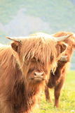 Portrait of a Scottish cow in Lofoten Stock Photos