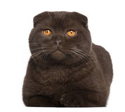 Portrait of Scottish Fold cat, 1 year old Royalty Free Stock Photos