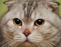 Portrait of the scottish fold cat Royalty Free Stock Image