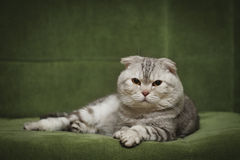 Portrait of the scottish fold cat Stock Photography