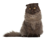 Portrait of Scottish Fold cat Royalty Free Stock Photo