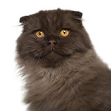 Portrait of Scottish Fold cat, 5 months old Royalty Free Stock Photos
