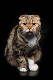 Portrait of Scottish Fold cat Royalty Free Stock Images