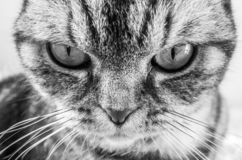 Portrait of a scottish fold cat, black and white photo. The emphasis in the frame is on the eyes royalty free stock photo