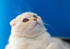 Portrait of Scottish Fold cat looking up Royalty Free Stock Photo