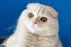 Portrait of Scottish Fold cat looking up. Portrait of a Scottish Fold cat looking up Stock Image
