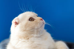 Portrait of Scottish Fold cat looking up Royalty Free Stock Image
