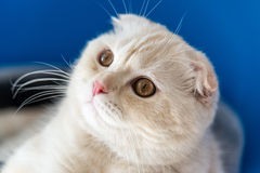 Portrait of Scottish Fold cat looking up. Portrait of a Scottish Fold cat looking up Royalty Free Stock Photos