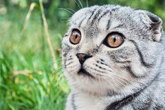 Portrait of a Scottish Fold Stock Photo