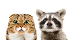 Portrait of Scottish Fold cat and raccoon. Closeup, isolated on white background Royalty Free Stock Image