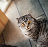 Portrait of Scottish fold cats. Scottish fold cat the view from the top Stock Photography