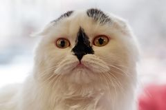 Scottish Fold domestic cat stock photos