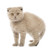 Portrait of Scottish Fold Kitten, 9 weeks old Royalty Free Stock Photo