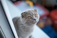 Portrait of scottish fold kitten sitting on window, selective focus Royalty Free Stock Image