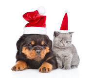 Portrait of a scottish kitten and rottweiler puppy in red christ Stock Photo